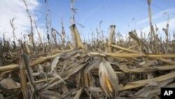 Tanaman jagung dilanda kekeringan di Bennington, Nebraska, Amerika Serikat. (Foto: Dok)