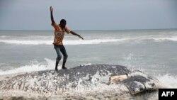 Un homme se tient sur une baleine morte le 5 septembre 2013 à Kokrobite, un village côtier juste à l'extérieur d'Accra.