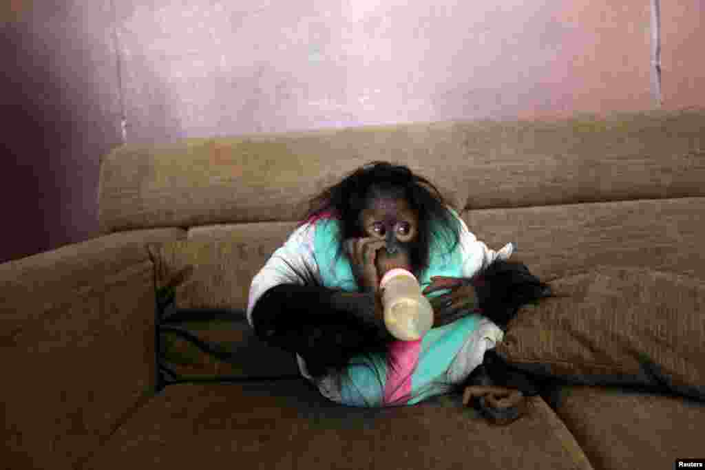 An orangutan drinks milk on a couch at a studio in Kunming, Yunnan province, China, Feb. 14, 2016.