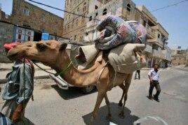 Tổ chức Y tế Thế giới cho biết lạc đà ở Trung Đông có phần chắc là nguồn chính của vi rút MERS gây bệnh nơi người.