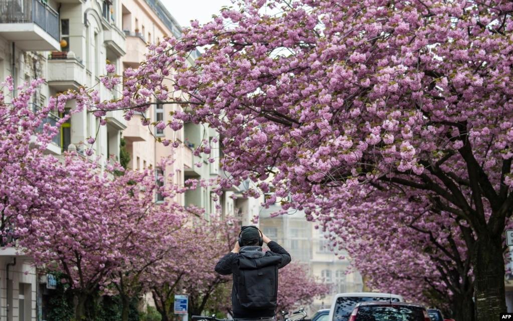 Мужчина фотографирует улицу с вишневыми цветами в центре Берлина, Германия.