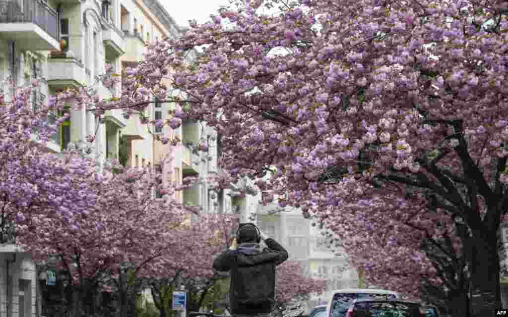 Almanya - Berlində albalı çiçəklənir