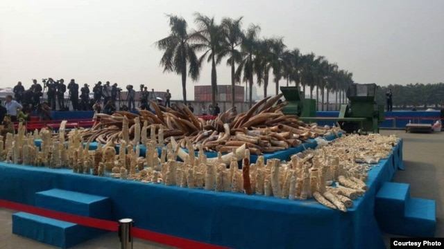 Ivory that was crushed in Guangdong Province in China on January 6, 2014. Photo courtesy of WildAid