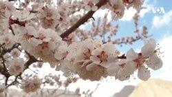 شکوفه های زردآلو