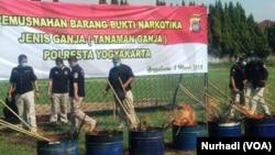 Ribuan pohon ganja dibakar petugas kepolisian Yogyakarta, Selasa, 5 Maret 2019. (Foto: VOA/Nurhadi)