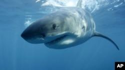 Desde 1950 se han registrado 101 ataques de tiburones blancos en el sur de California.