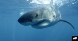 Böyük ağ köpəkbalığı