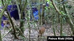 Dua dari 10 ekor rusa timor yang dilepasliarkan di Tahura R. Soerjo (Foto: VOA/ Petrus Riski)