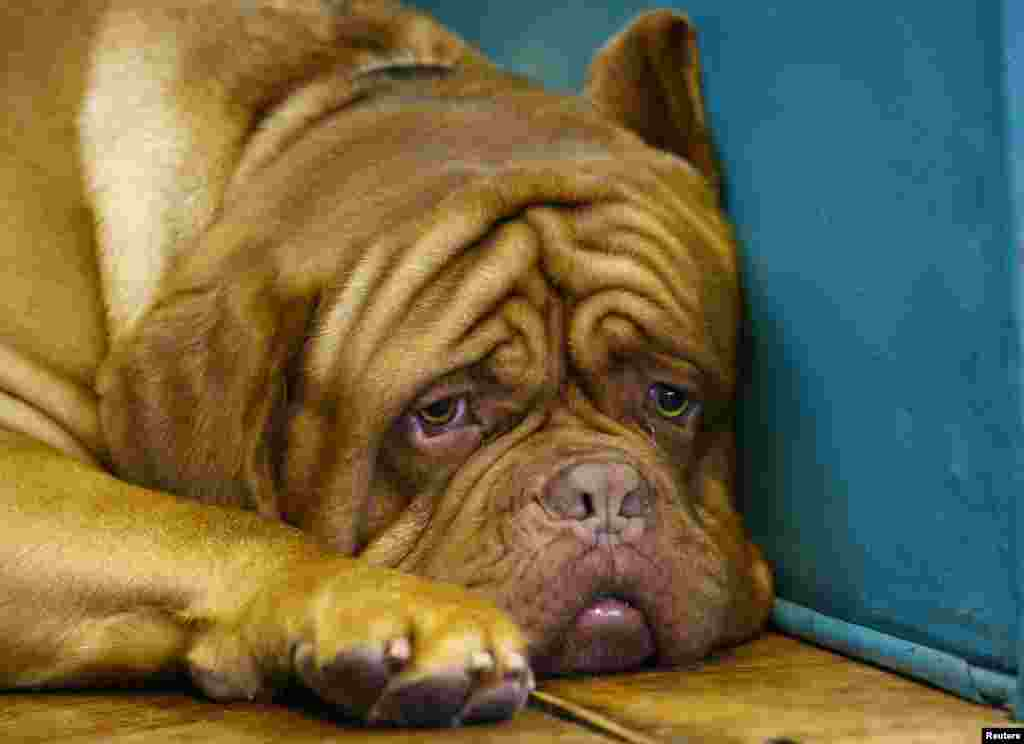 A Dogue de Bordeaux awaits during the first day of the Crufts dog show in Birmingham, central England.