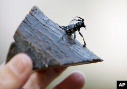 FILE - The preserved remains of an Asian longhorned beetle, found in Worcester, Massachusetts, are shown Oct. 8, 2008.