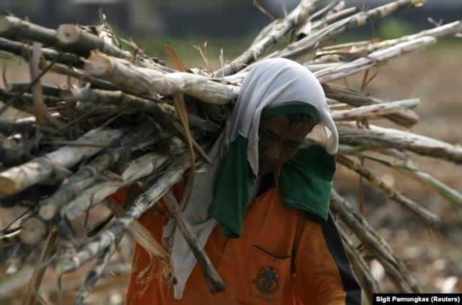 Seorang pekerja memanen tebu di perkebunan negara di Sidoarjo, Jawa Timur, 3 Agustus 2011. (Foto: REUTERS/Sigit Pamungkas)