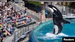 Du khách được chào đón bởi cá voi sát thủ Orca trong một buổi biểu diễn tại công viên SeaWorld ở San Diego, California.