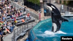 Visitors are greeted by an Orca killer whale during a show at the animal theme park SeaWorld in San Diego, California, March 19, 2014.
