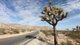 A Joshua tree along the side of the road within the national park