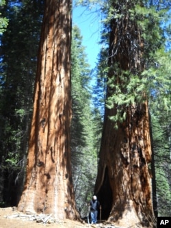 Yosemite's giant Sequoia trees