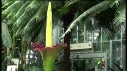 Bunga Bangkai Harumkan Nama Indonesia