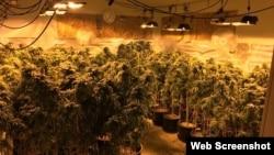 在房屋內非法種植的大麻(格雷斯港警局臉書圖片)