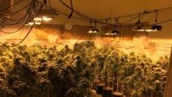 VOA连线(魏之):加州三名华裔男子非法种植销售大麻被捕