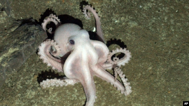 A pale octopus seen on the ocean floor at depth of more than 2,000 meters near Antactica.  (Photo: PLoS Biology Journal)