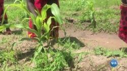 Mulheres movem a agricultura do Niassa, em Moçambique