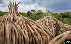FILE - A ranger from the Kenya Wildlife Service (KWS) stands guard near some of around a dozen pyres of ivory, in Nairobi National Park, Kenya, April 28, 2016.
