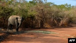 FILE - A photo taken in September 2014 in the southern district of Yala shows a Sri Lankan elephant walking at the Yala National Park.