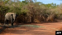FILE - A photo taken in September 2014 in the southern district of Yala shows a Sri Lankan elephant walking at the Yala National Park. In recent years, parts of the Indian Ocean island have faced severe drought, while others endured heavy flooding due to monsoon rains.