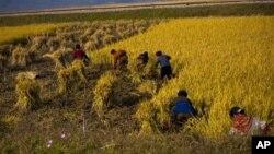지난 2011년 10월 북한 원산 인근에서 농부들이 수확 작업을 하고 있다. (자료사진)