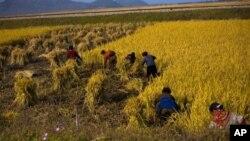 지난해 10월 북한 원산 인근의 수확 작업. (자료사진)