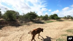A malnourished cow walks along a dried up river bed in the village of Chivi, Zimbabwe.
