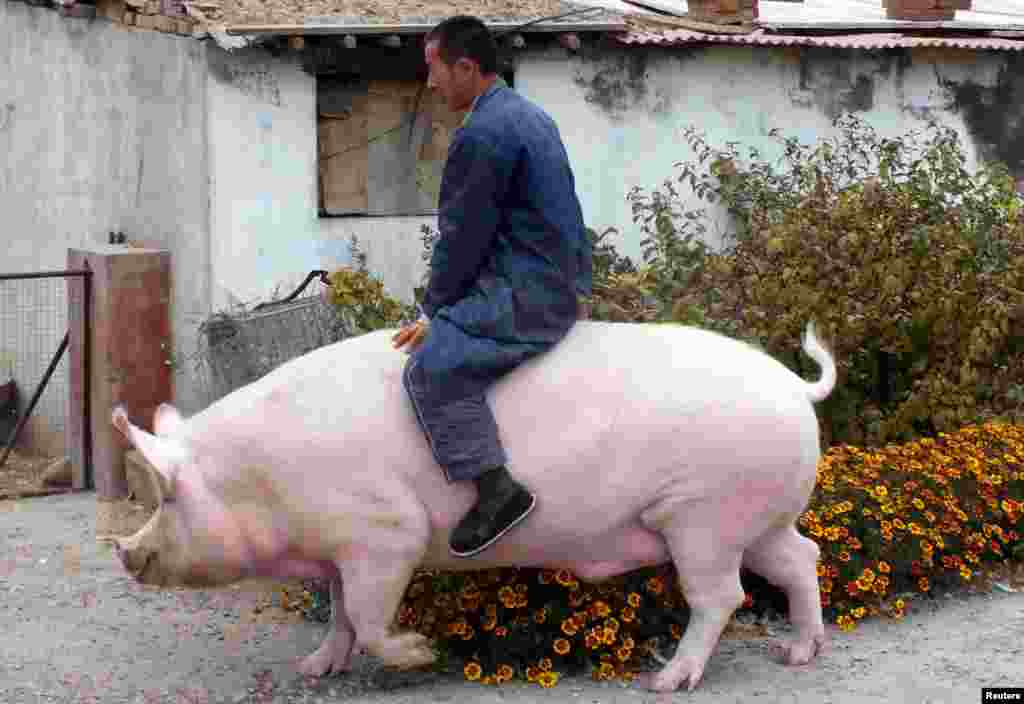 "Farmer Zhang Xianping rides his pig ""Big Precious"" during an interview with the media, in Zhangjiakou, Hebei province, China, Nov. 2, 2015. Zhang, a pig breeder, instead of killing two-year-old Big Precious, decided to keep it as pet when its weight reached 600 kg, according to local media."