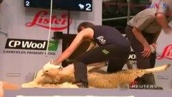 ںیوزی لینڈ میں بھیڑ کی اون اتارنے کا مقابلہ