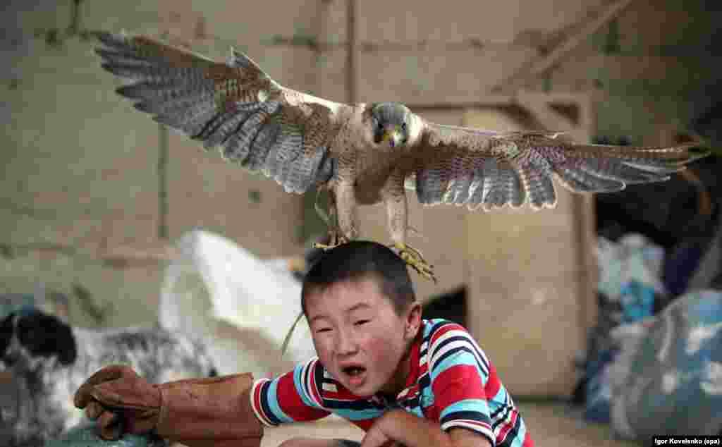 Azat Shajbyrov reacts as a baby falcon flies on his head, in the village of Bokonbaevo, Issyk-Kul area, Kyrgyzstan.