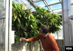 Plant scientist Myeong-Je Cho examines cacao trees in the IGI greenhouse. His team is using CRISPR to develop strains that will resist infection.