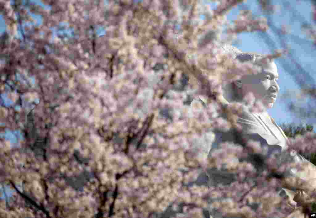 Cherry blossoms blooming near the Martin Luther King Jr. National Memorial in Washington, March 19, 2012. (AP)