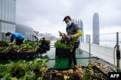 """Para petani """"Rooftop Republic"""" memanen sayuran yang ditanam di puncak menara Bank of America setinggi 150 meter di Hong Kong, 9 April 2021. (AFP)"""