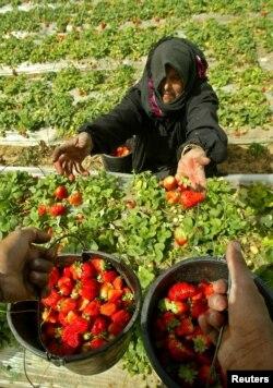 Seorang perempuan Palestina sedang memetik strawberry. (Foto: Reuters)