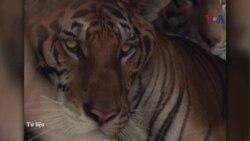 Chỉ còn 20 con hổ Đông Dương ở Việt Nam