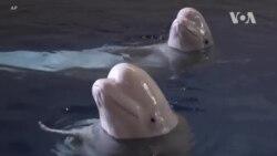 [글로벌 리포트] 전기차의 소리 없는 위협…집으로 돌아간 수족관 돌고래