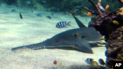 FILE - A sawfish sifts through the sand on the bottom of its new home at the Sydney Aquarium in Sydney, Australia, Dec. 9, 2011.