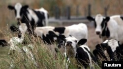 Cows graze on a farm near Sunchales, Argentina, April 6, 2018.