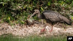 This undated photo provided by the Wildlife Conservation Society in June 2020 shows a giant ibis in Cambodia. In April 2020, the WCS documented the poisoning of three critically endangered giant ibises for the wading bird's meat. (Phann Sithan/WCS via AP)