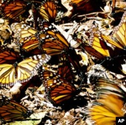 These Monarch butterflies are wintering in the mountains several hours drive north of Mexico City, some traveling from as far away as Canada.