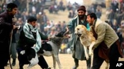鬥狗在阿富汗部份地區風氣盛行。