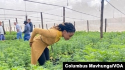 Dr. Zorodzai Maroveke, head of Zimbabwe Industrial Hemp Trust, seen here in a Beatrice farming area on July 7, 2021, says Zimbabwe is making a smart choice with cannabis, since the tobacco market is shrinking. (Columbus Mavhunga/VOA)