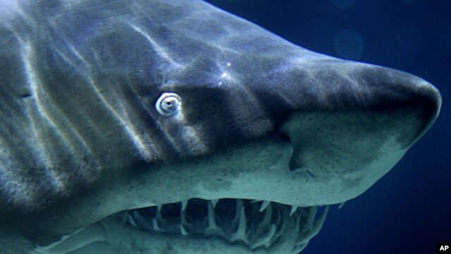 A Sand Tiger Shark swims in its aquarium, File November 9, 2010.
