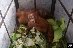 Bayi orangutan yang disita petugas BKSDA dari pemilik ilegal tidur di dalam kandang di Taman Nasional Gunung Leuseur, 10 Januari 2020. (Foto: AP)