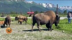 الاسکا: زخمی جانوروں کو بچانے والا امریکی ادارہ