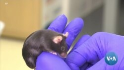 'Mighty Mice' Possible Key to Maintaining Muscle Mass