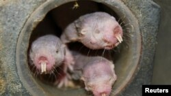 Four naked mole-rats are seen in a University of Illinois at Chicago laboratory in an undated photo released April 20, 2017. (Courtesy of Thomas Park/UIC)